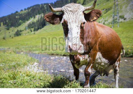 Swiss cow crossing a river stream in in bucolic green summer alpine meadow Swiss Alps mountain massif canton du Valais Switzerland