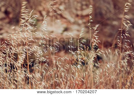 Beautiful field with dry grass and wild oats, autumn or spring landscape, wallpaper, background, texture, toned