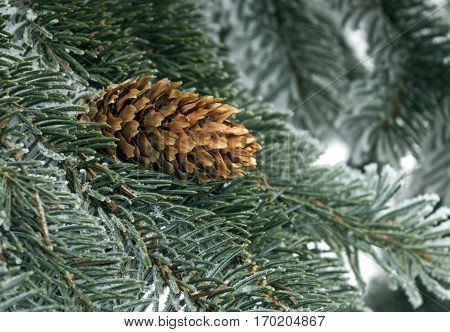 Blue spruce with cone in snow on against the background of branches