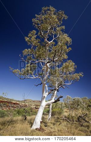 Ghost Gum at the Kimberleys