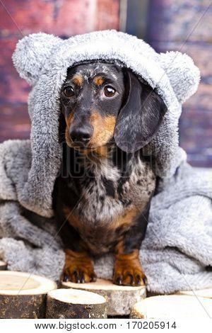 dachshund dog in a bear suit