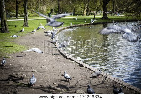 Great Blue Heron (Ardea herodias) surrounded by pigeons flying around in the park