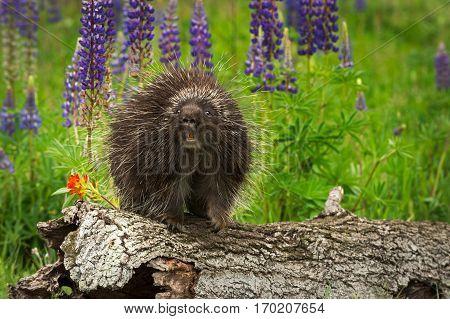 Porcupine (Erethizon dorsatum) Looks Straight Out - captive animal