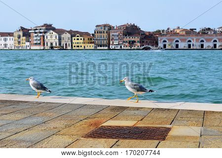 Two seagulls walking on the promenade Giudecca Canal in Venice on a sunny day. Italy