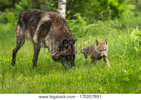 Grey Wolf (Canis lupus) With Pup - captive animals