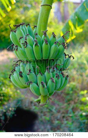 Banana Tree With A Bunch Growing. Unripe Banana.