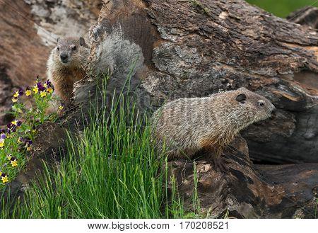 Young Woodchucks (Marmota monax) Explore Log - captive animals