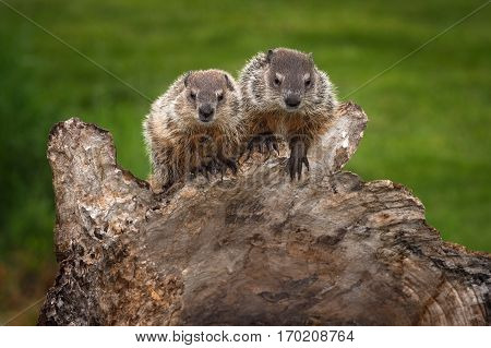 Pair of Young Woodchucks (Marmota monax) Look Out - captive animals