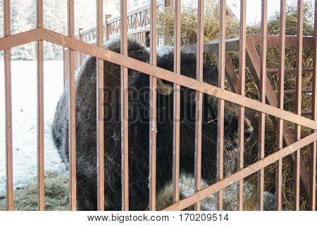 Bison behind the fence. Wild animals in captivity in the open air.