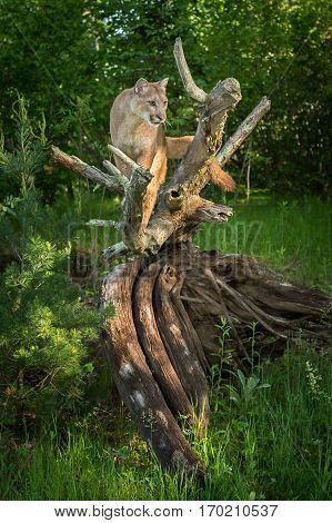Adult Female Cougar (Puma concolor) Stands On Root Bundle - captive animal