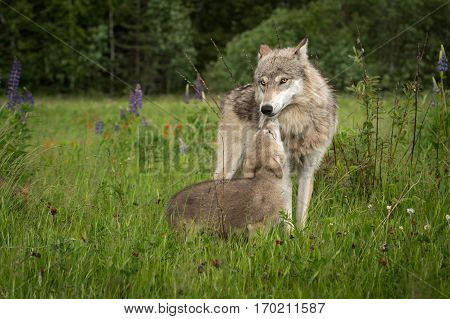 Grey Wolf (Canis lupus) Greeted by Pup - captive animals