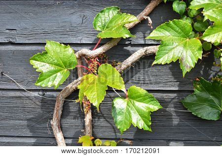 Grape-vine on the wooden wall