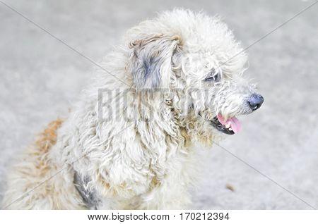 vagabond dog poor dog or three legged dog
