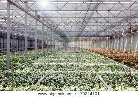 Inside a  large greenhouse with rows of cultivation.