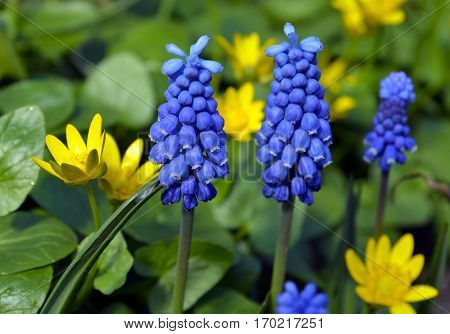 Spring flowers Armenian Grape Hyacinth Muscari and Primrose close up.Floral background.Spring concept.Selective focus.