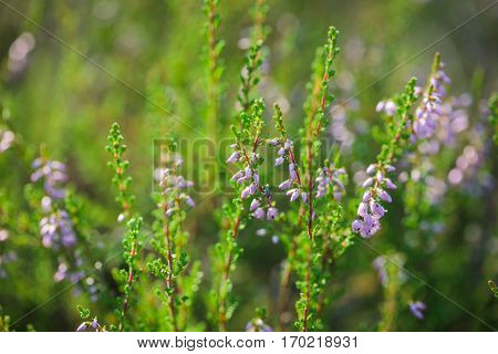 Common Heather (calluna Vulgaris) In The Forest
