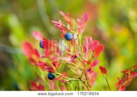 Bilberry, Whortleberry Or European Blueberry (vaccinium Myrtillus)