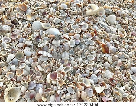 A variety of seashells covering a sandy beach.