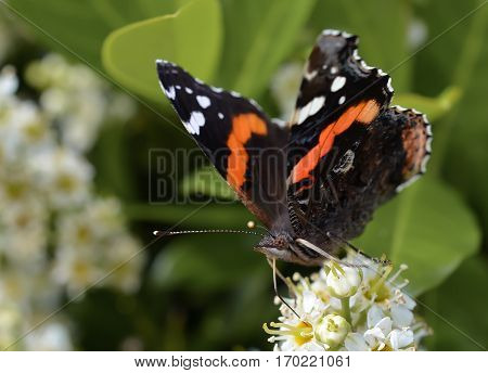 Vibrant colorful beautiful butterfly moth.  Wild life insect fluttering from plants to flowers in the garden park setting.