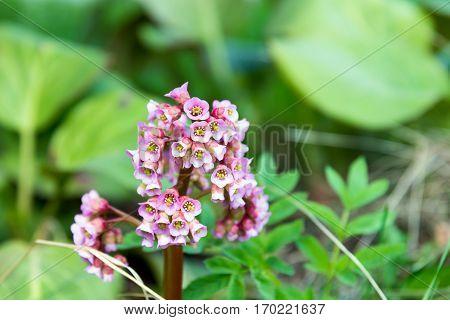 beautiful spring pink flower Bergenia (elephant-eared saxifrage elephant's ears)