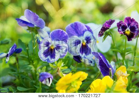 flowering colorful pansies in the summer garden
