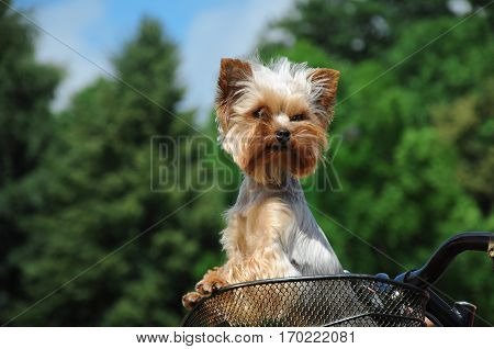 Puppy of Yorkshire terrier sitting in basket bicycle