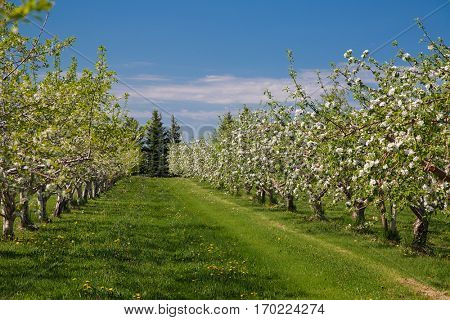 Apple orchard in bloom during the spring.