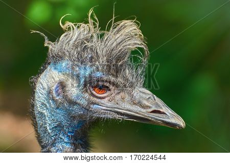 Close up Portrait of Emu against Green Background