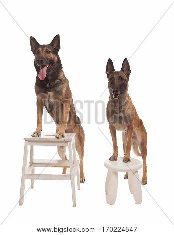 Two malinois dogs sitting on background isolated