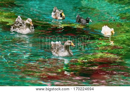 Ducks Swimming Down The River