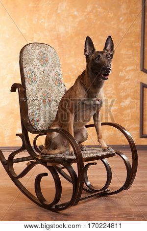 Happy Dog malinois on the rocking chair