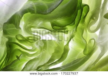 cross section of an iceberg lettuce, backlit to show detail of layers and structure.