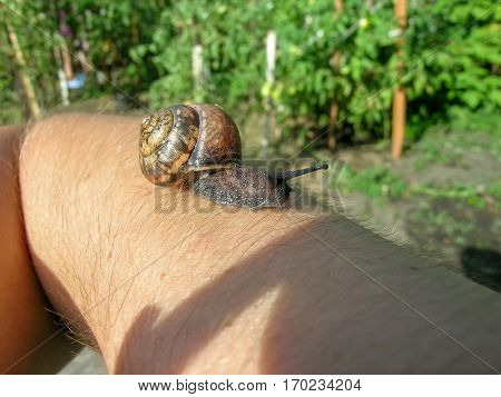 Snail with shell on the human hand