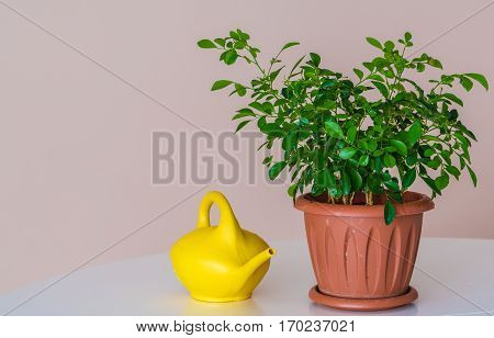 Yellow Watering Can Beside Potted Plant In Pot