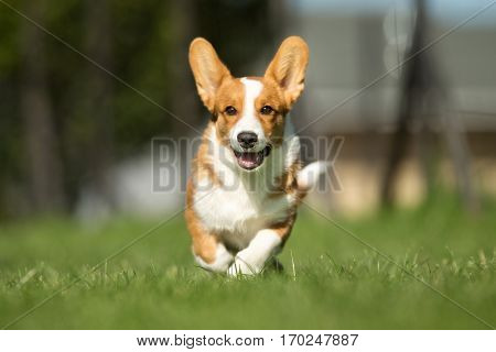 Smiling And Happy Welsh Corgi Dog
