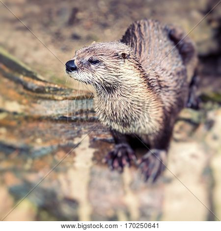 European Otter in nature. in zoo in Europe