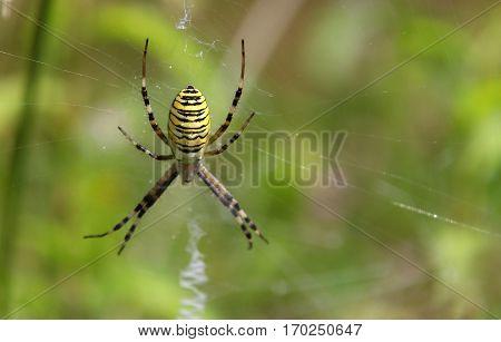 Wasp spider (Argiope bruennichi) macro image b