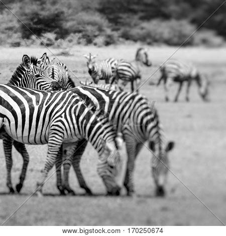 Zebra Portrait On African Savanna. Safari In Serengeti, Tanzania. Selective Focus.