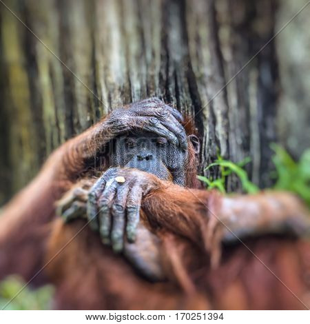 Orangutan In The Jungle Of Borneo Indonesia.
