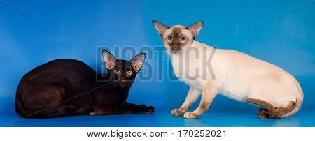 Two Purebred Cats Siam And Oriental Breed