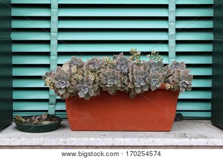 Sempervivum or houseleek flowers on a background of turquoise shutters