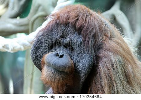 Portrait of adult male orangutan