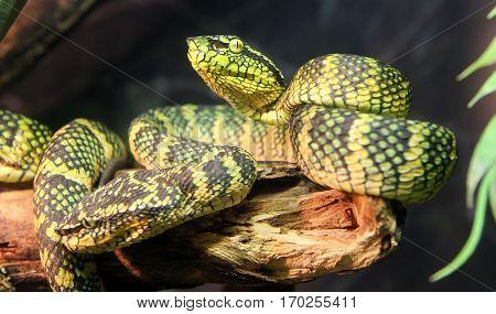 Green Wagler's palm viper snake closeup image