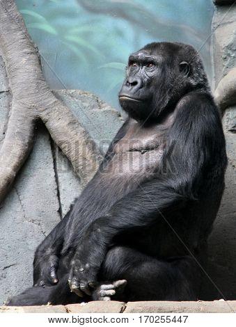 Portrait of Western lowland gorilla in the zoo