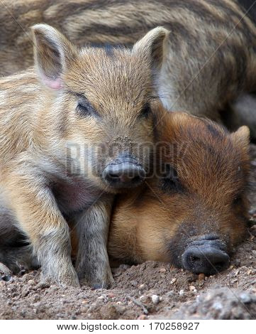 close-up wild piglets sleeping on the ground