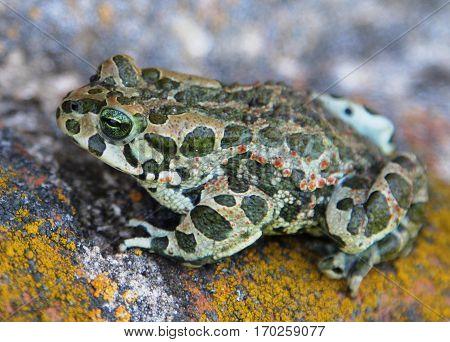 European green toad (Bufo viridis) macro image