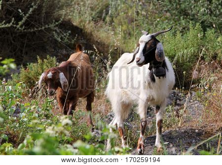 Goats on the street of turkish village