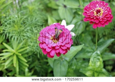 Bright beautiful red zinnia flower in the garden at summerand a butterfly on a flower