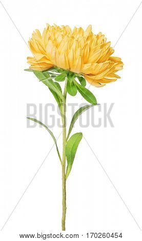 orange color aster isolated on white background