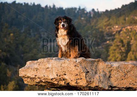 Australian shepherd sitting on a rock shelf, painted gold by the sunset